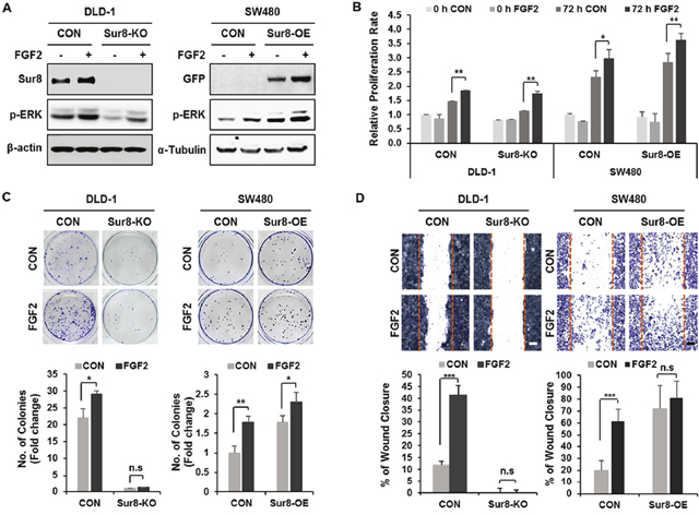 Effects of Sur8 level on FGF2-induced cellular transformation and migration.
