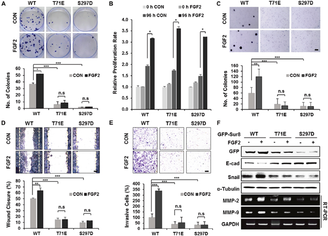 Wild-type Sur8, but not phosphomimetic mutations, mediates FGF2-induced cellular transformation, migration, and invasion.