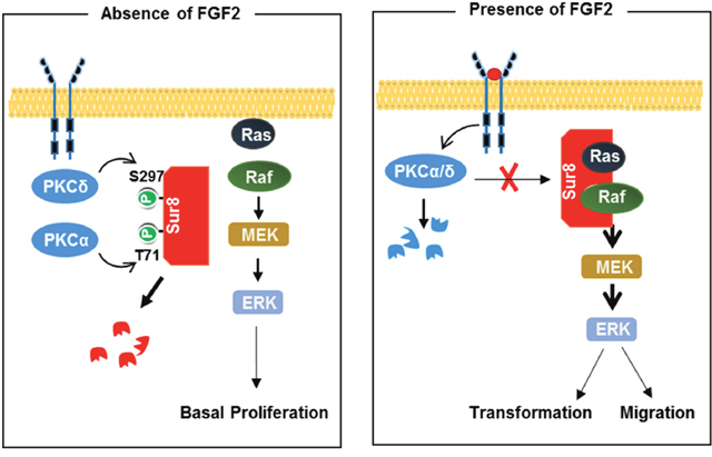 Model for Sur8 stability regulation by FGF2 signaling.
