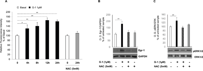 G-1-induced Egr-1 expression is associated with ROS generation in H295R cells.