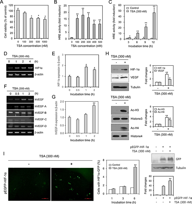 TSA enhanced VEGF-HRE reporter activity and the amount of HIF-1α protein.