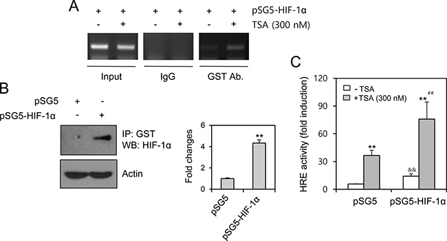 TSA treatment increased HIF-1α binding on HRE of VEGF promoter.