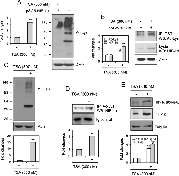 HIF-1α acetylation at lysine 674 was increased by TSA treatment.