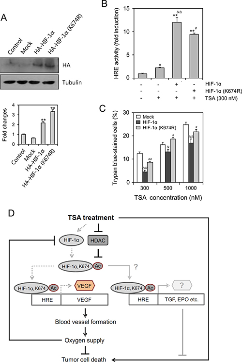 TSA-resistance was dependent on HIF-1α acetylation at lysine (K) 674.
