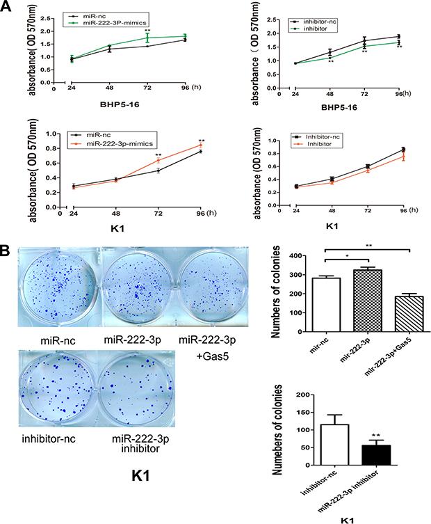 MiR-222-3p promotes proliferation of PTC cells in vitro.
