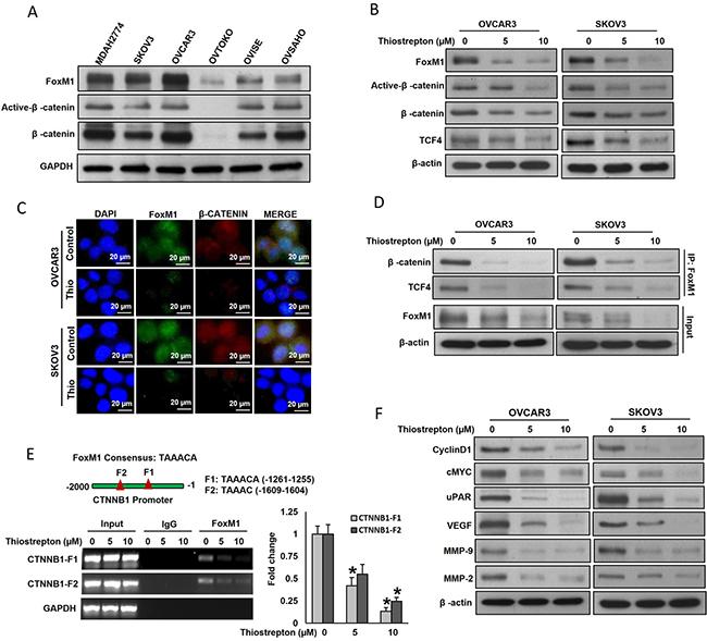 FoxM1 interact with β-catenin in vitro.