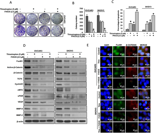 Thiostrepton and FH535 synergistically inhibits cell proliferation and induce apoptosis in EOC cell lines.
