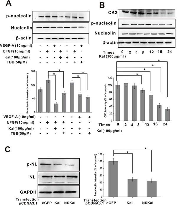 Kallistatin inhibits nucleolin phosphorylation.