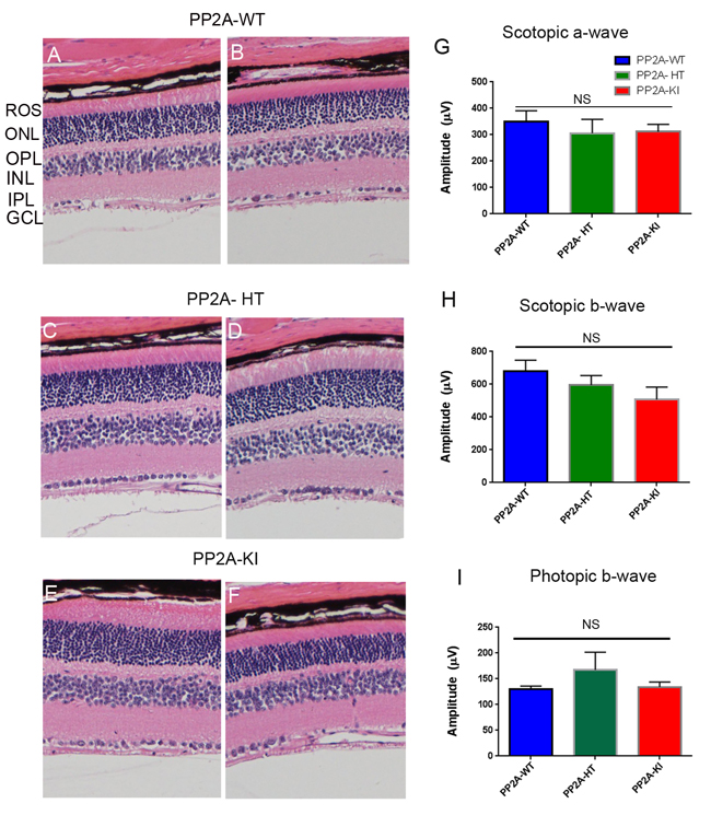 Structure and functional characterization of PP2A-KI mice.