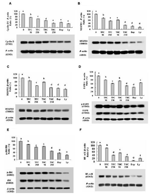 Effects of TFC and TNC on protein expressions and/or phosphorylation of cyclin D1 (A), VEGFR1 (B), VEGFR2 (C), pEGFR/EGFR (D), pAkt/Akt (E), and NF-κB (F) in highly metastatic LLC cells.