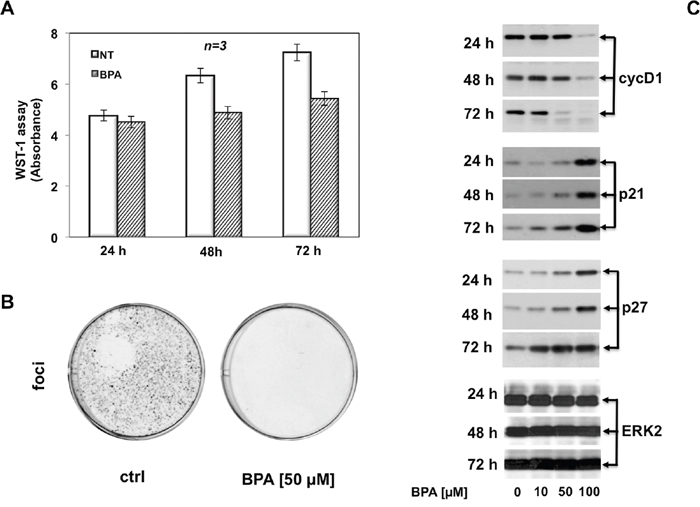 BPA halts cell cycle in LNCaP cells.