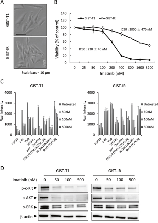 Characterization of the imatinib-resistant GIST cell line, GIST-IR.