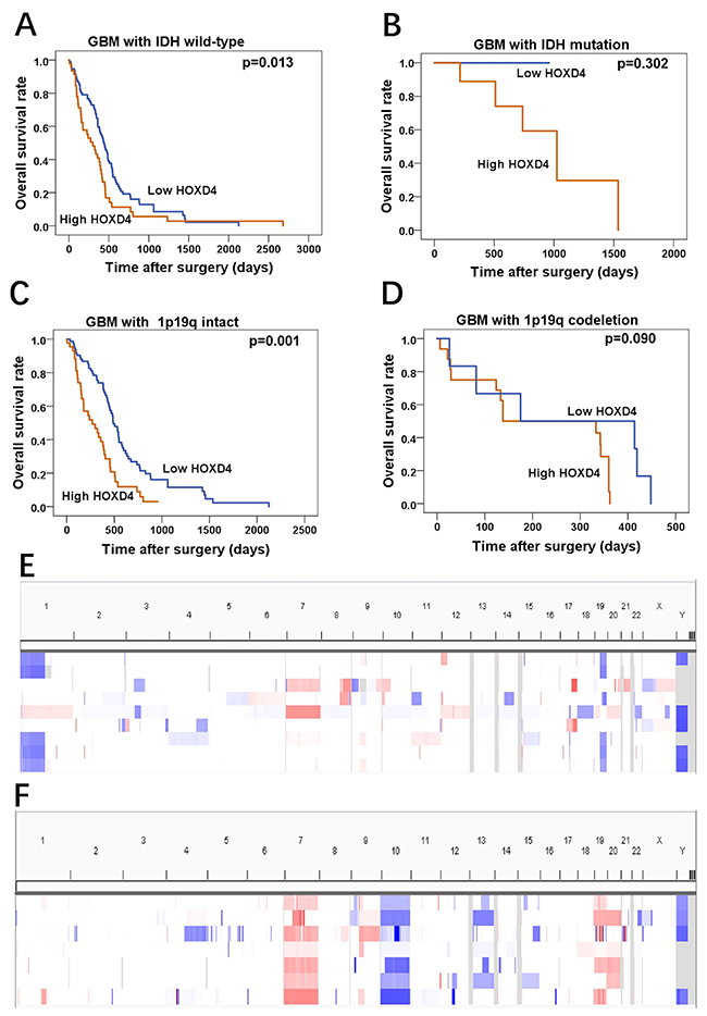 HOXD4 expression impact the OS of GBM patients with IDH wild-type or 1p19q intact by TCGA data analysis.