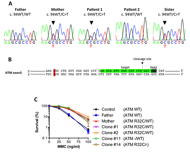 The ATM R32C mutant allele found in MMC-resistant individuals is dispensable for the enhanced survival.