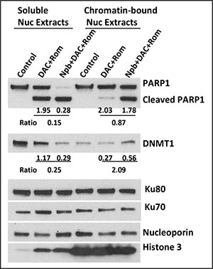 Drug-mediated trapping of PARP1 and DNMT1 to DNA.