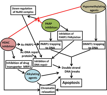 Suggested mechanisms of synergistic cytotoxicity.