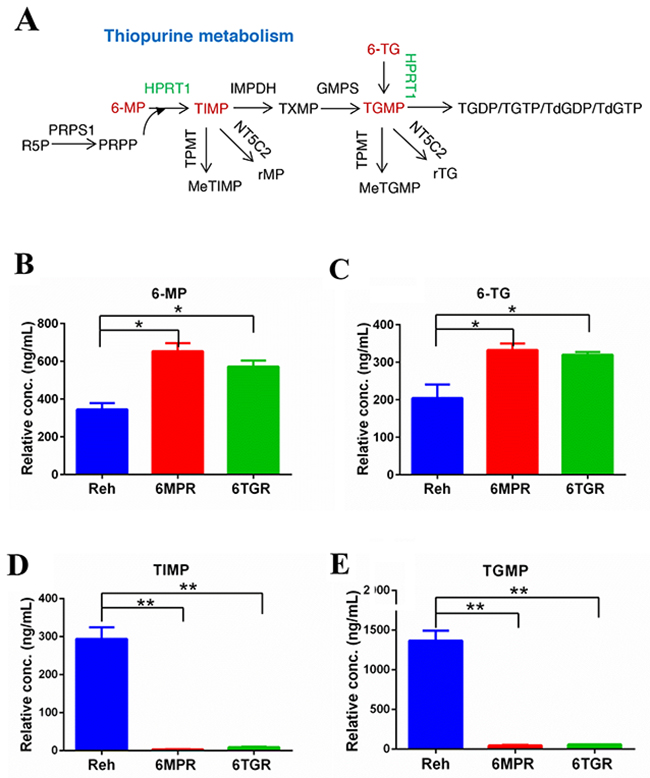 Thiopurine metabolism in Reh cells and resistant cells.