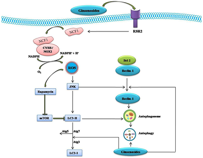 Schematic Diagram of Effects of Ginsenosides on ESR2-NCF1-ROS and ROS-JNK-Autophagy Pathway of Cancer Cells.