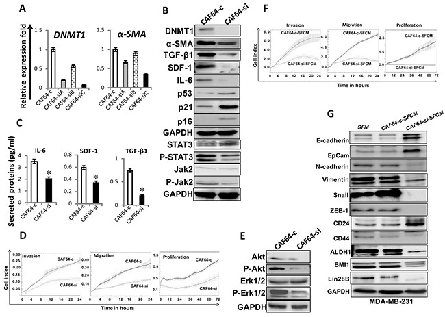 DNMT1 downregulation suppresses myofibroblasts.