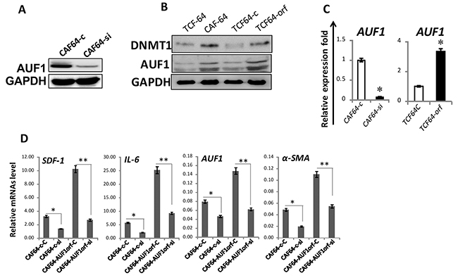 DNMTl effects in breast stromal fibroblasts are AUF1-dependent.
