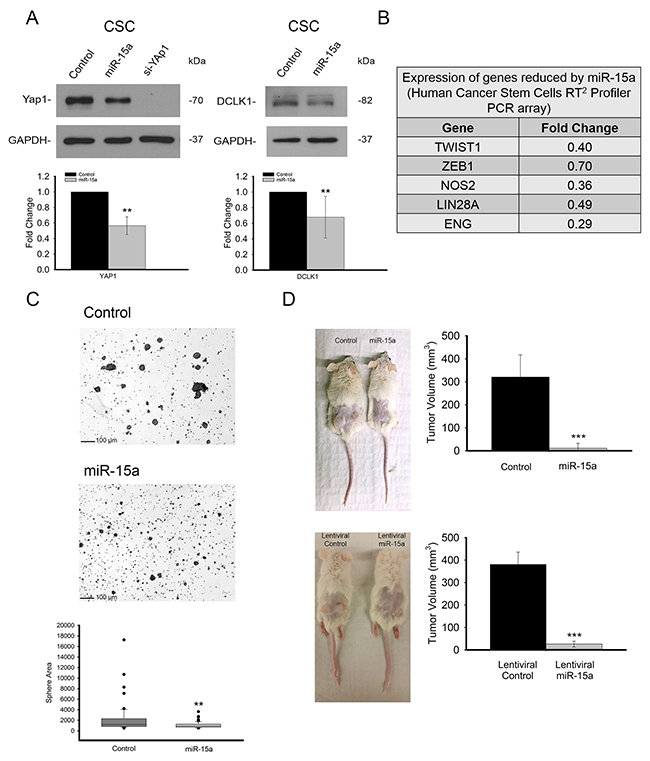 miR-15a is effective in spheroid growing stem like HCT116 colon cancer cells and inhibits tumor formation in vivo.