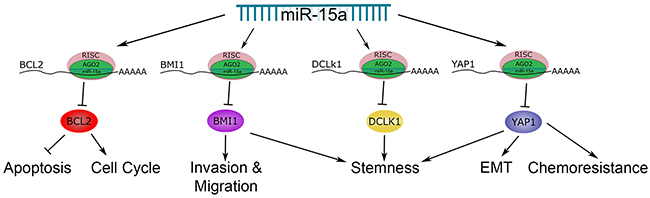 The role of miR-15a in colon cancer.