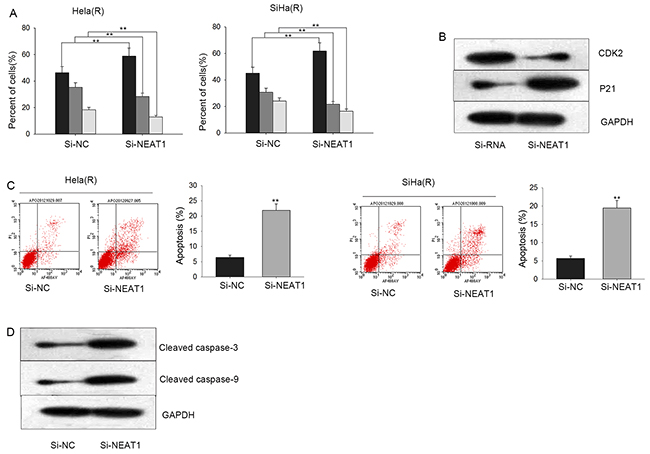Silenced NEAT1 accelerates cell cycle arrest and triggers cell apoptosis.