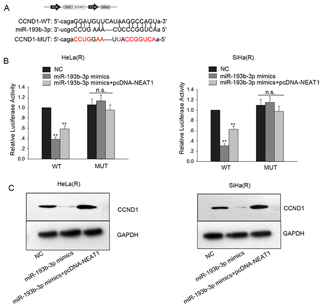 NEAT1 competitively sponges miR-193b-3p to enhance CCND1 in cervical cancer.