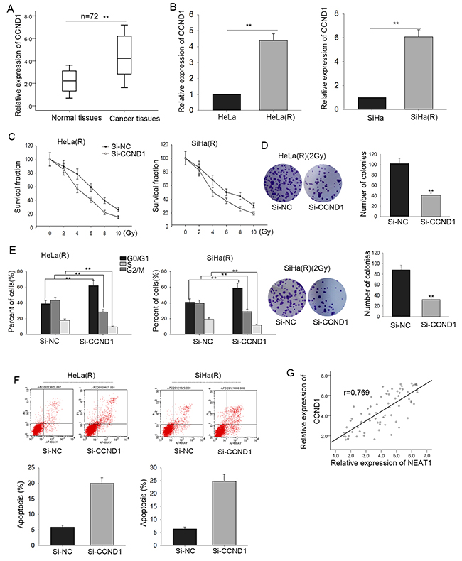 Up-regulated CCND1 consolidates the radio-resistance of cervical cancer via influencing proliferation, cell cycle arrest and apoptosis.