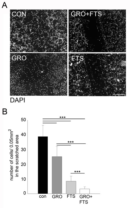 Co-treatment of FTS and GroA affects cell migration.