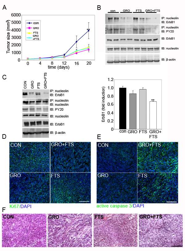 Treatment of FTS and GroA in U87-MG cells