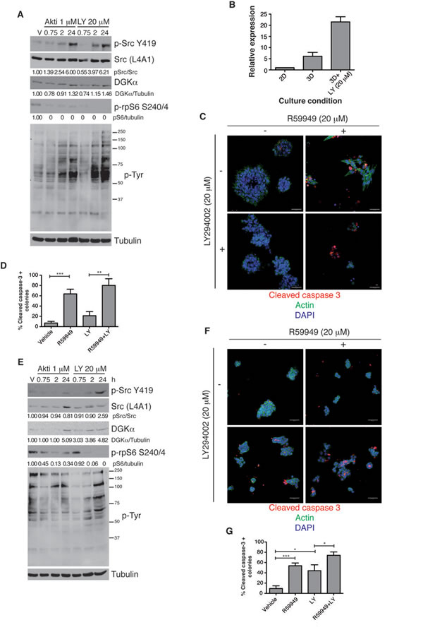 DGKα expression increases after PI3K inhibition.