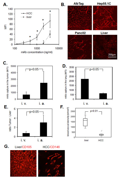 Fig.2: Immediate binding of ME-9F1 mAb to endothelial cells.