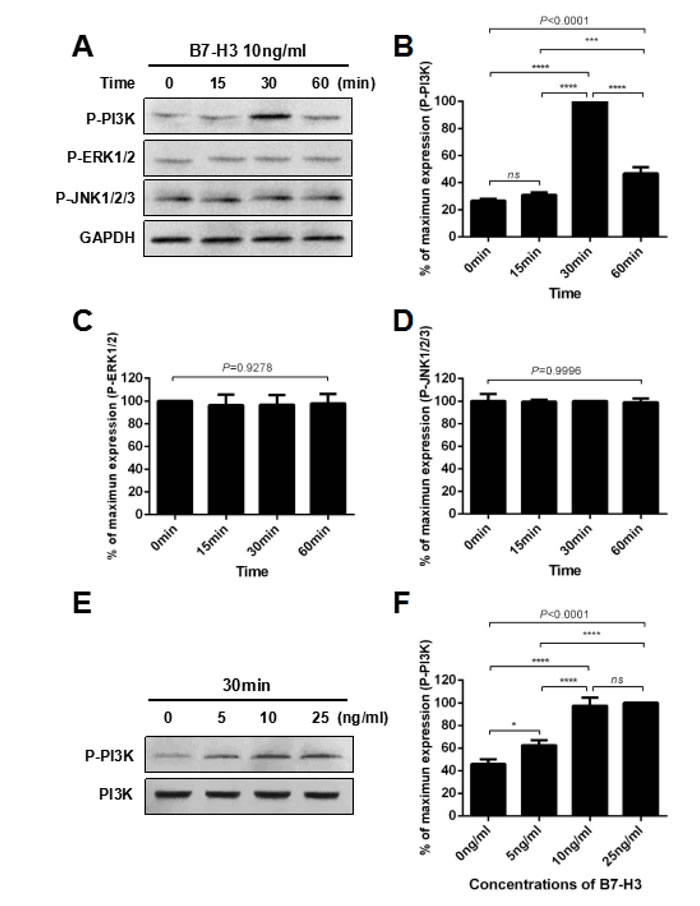 B7-H3 activated the PI3K signaling pathway in mouse SSCs.