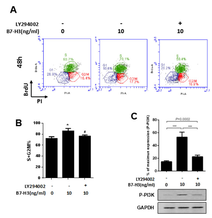A PI3K inhibitor attenuated the B7-H3-induced cell cycle promotion of SSCs.