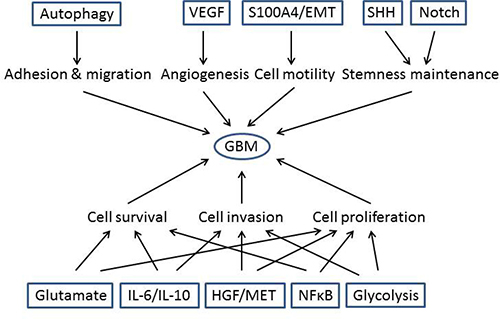 More signaling pathways have been identified to contribute to GBM development.