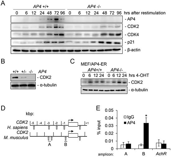 Characterization of murine CDK2 as a direct target of AP4.