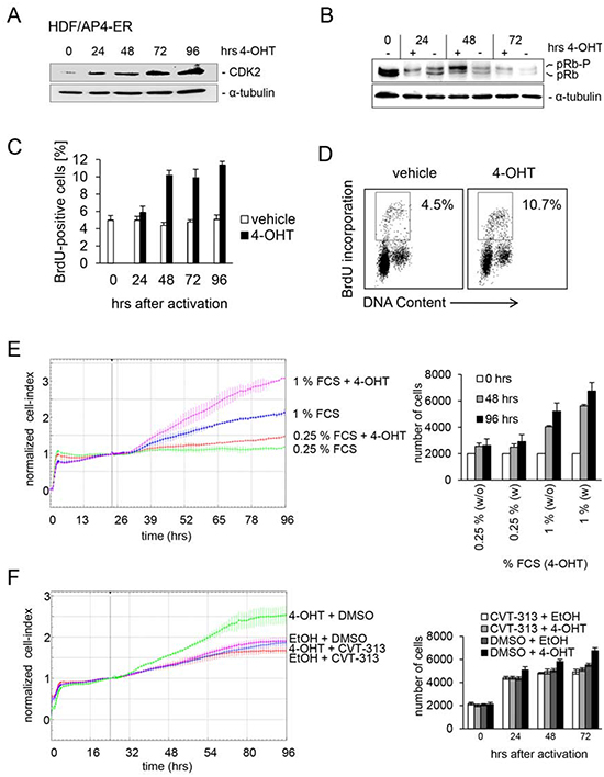 CDK2 is mediator of AP4-induced proliferation in HDFs.