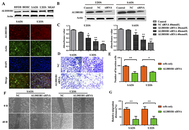 The role of ALDH1B1 in the growth and proliferation, invasion and migration of OS cells.