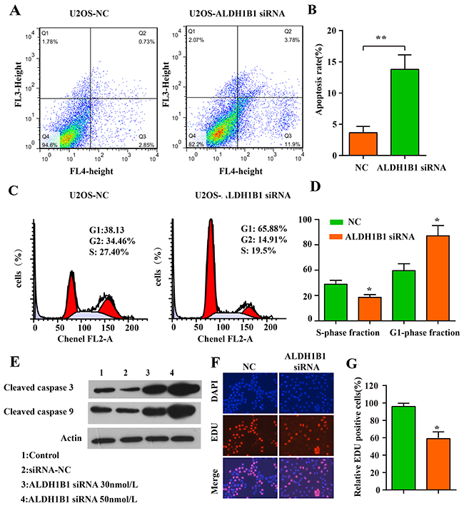 The role of ALDH1B1 in the apoptosis, cell cycle of OS cells.