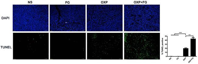 OXP and FG combination promoted tumor apoptosis in vivo.
