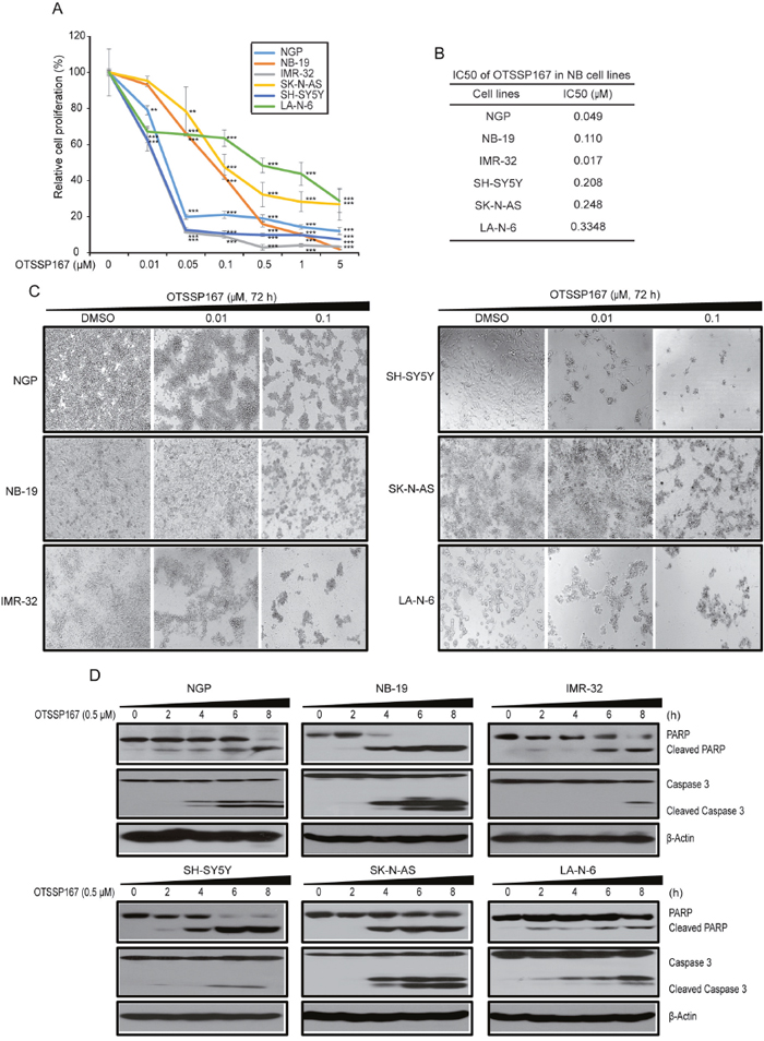 MELK inhibitor OTSSP167 inhibits cell proliferation and induces apoptosis in NB.