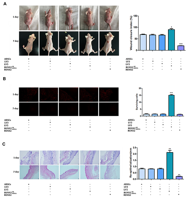 RUNX2 promotes the burn wound healing of mice.
