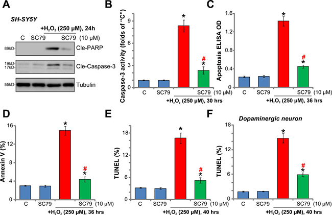 SC79 inhibits H2O2-induced apoptosis activation in dopaminergic neurons.