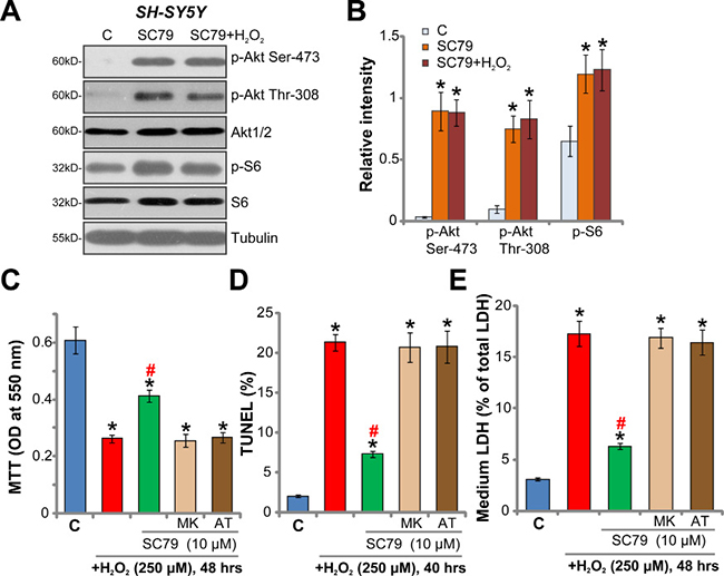 Akt inhibition abolishes SC79-mediated neuroprotection against H2O2.