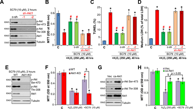 Activation of Akt mediates SC79-induced neuroprotection against H2O2.