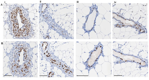 ER and PR expression in mouse mammary gland.