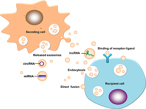 Exosomal ncRNAs ingested by a receptor cell.