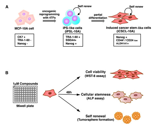 The induced CSC-like model and drug screening method.