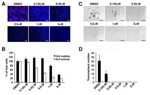 Withaferin A inhibits self-renewal and pluripotent properties of iCSCL-10A cells.